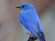 Idaho's Mountain Bluebird